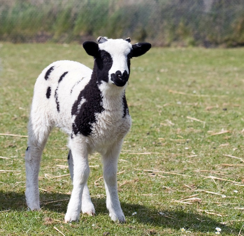 A photo of a Jacob lamb in a field.